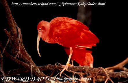 Red Ibis Picture