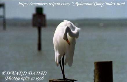 Preening Great White Heron Picture