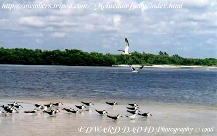 Black Skimmers Flock Picture
