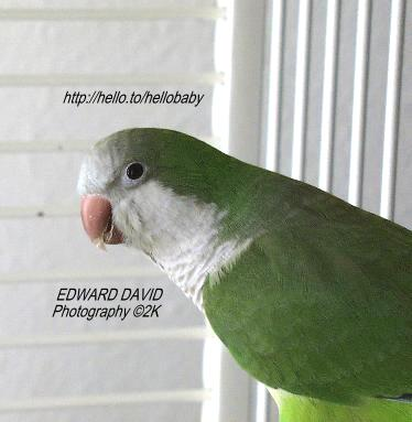 Quaker in Cage Picture