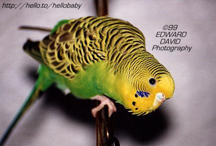 She Budgie? Picture