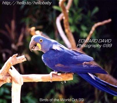 Hyacinth Macaw Picture3